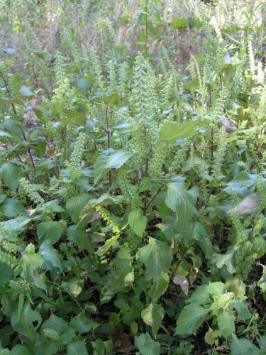 Beefsteak Plant