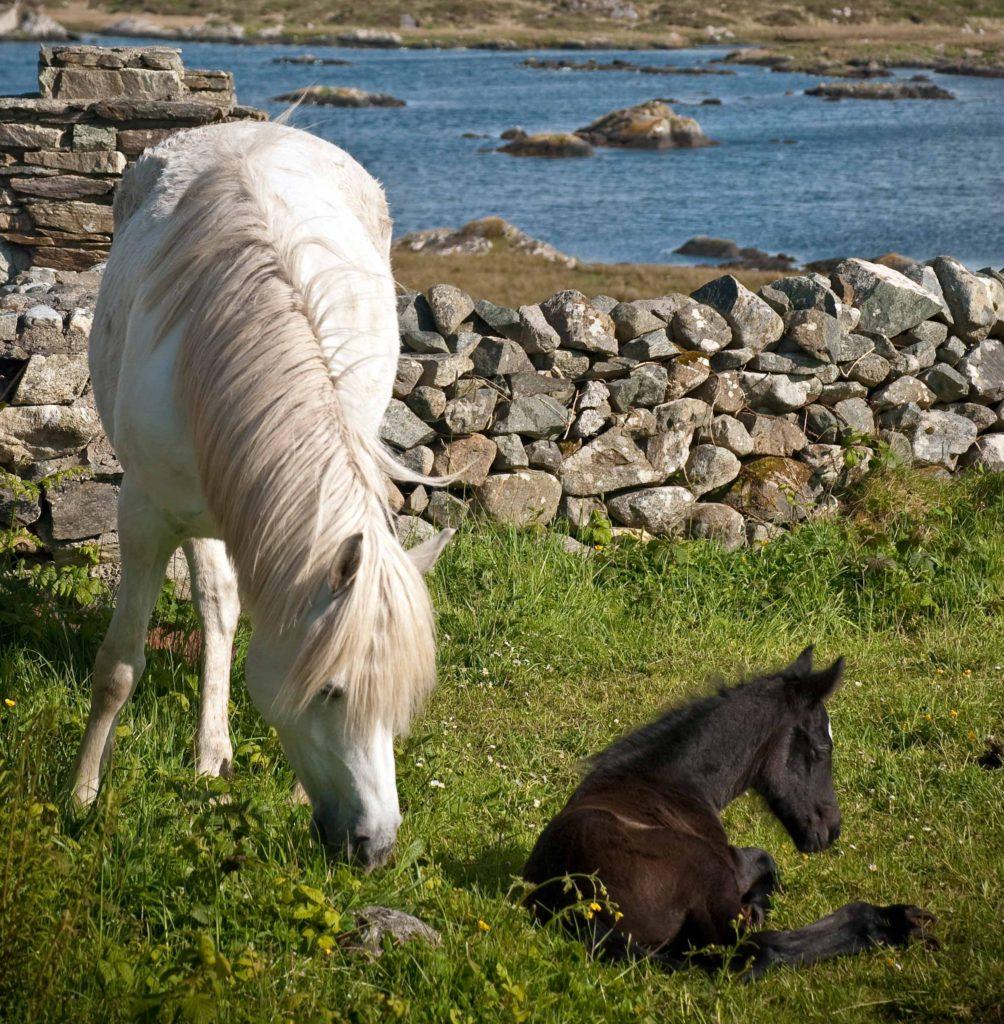 Midland Connemara Pony Show 2017 Welcome To Connemara