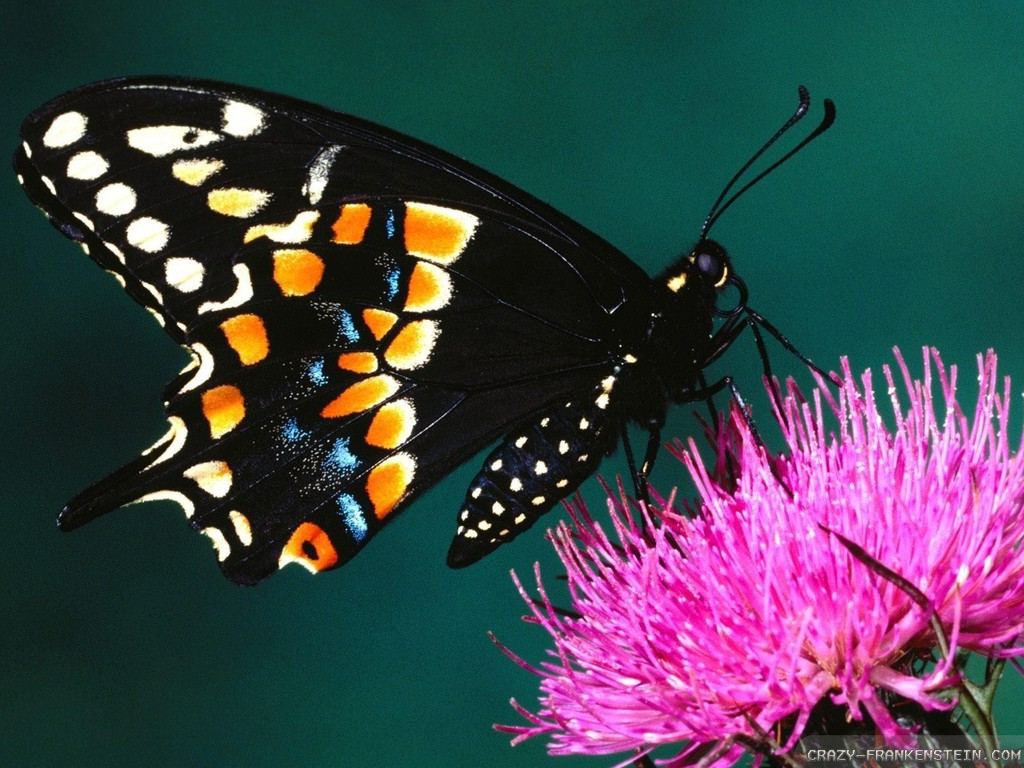 Butterfly Wallpaper hd  Black Butterfly Wallpaper Black Butterfly Wallpaper