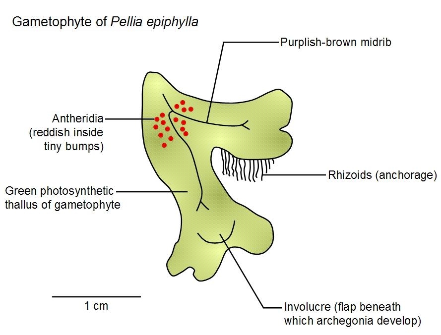 Bryophyte Life Cycle Diagram