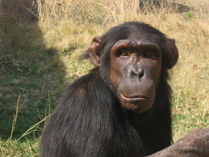 Cryptomundo » Chimp Attack Victim In Critical Condition