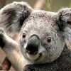smiling koala picture - HD1600×1280