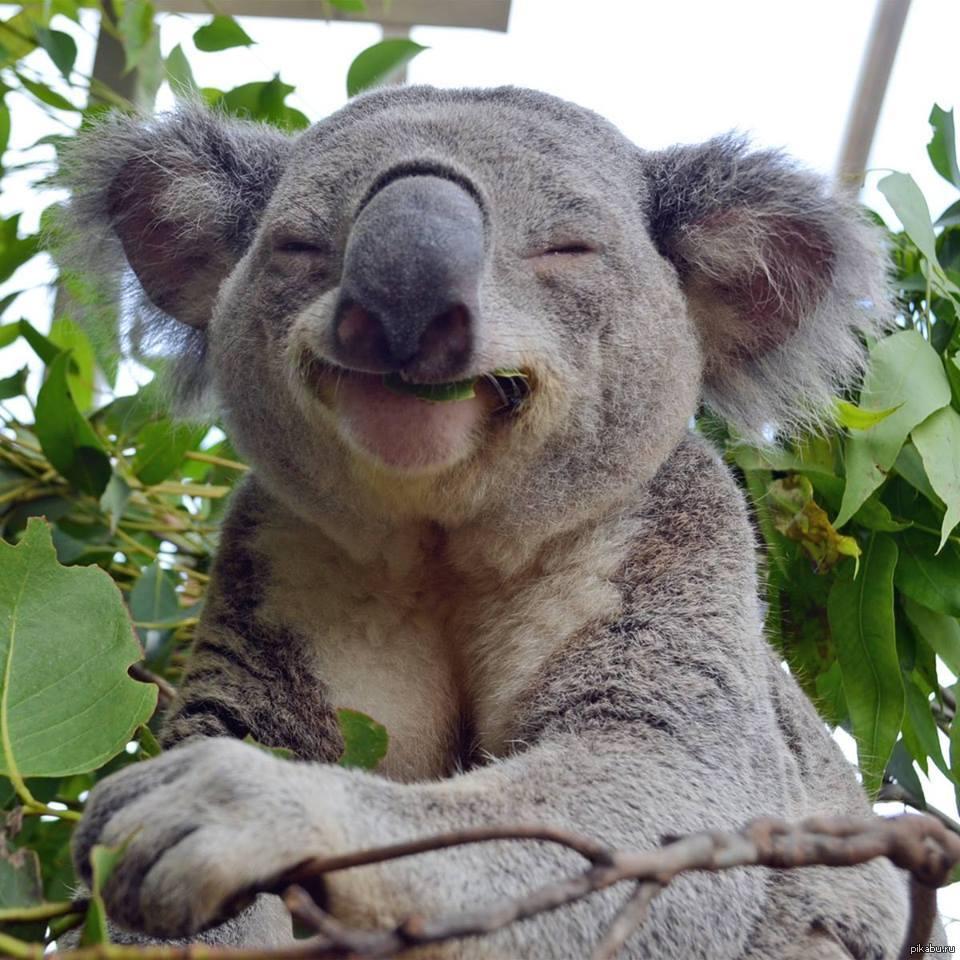 smiling koala picture - 960×960