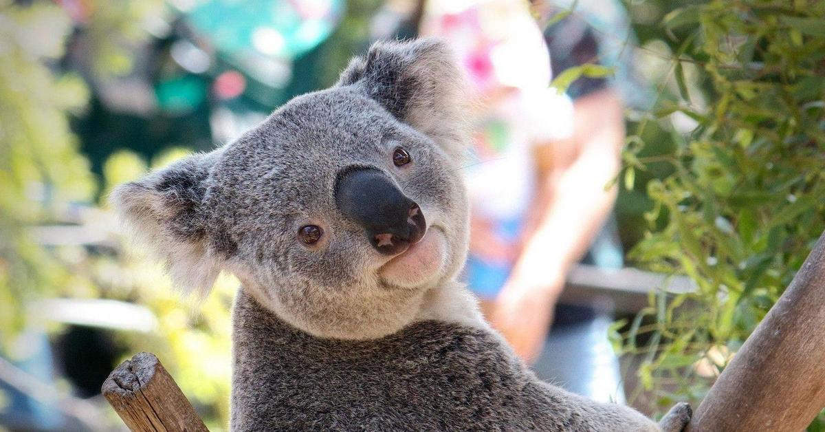 smiling koala picture - HD2560×1600