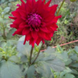 Growing Dahlias Cubit Discussion Of Colors Forms Or