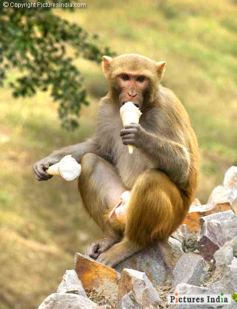 White Tiger Monkey Eating