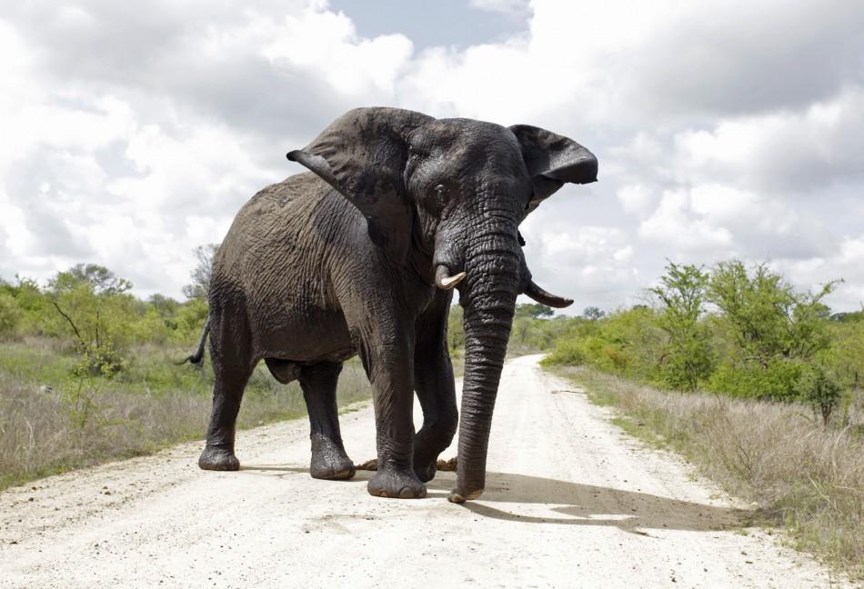 Biggest Elephant Record