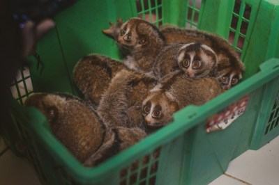 Record Number of Slow Lorises Seized in Indonesia [PHOTOS]