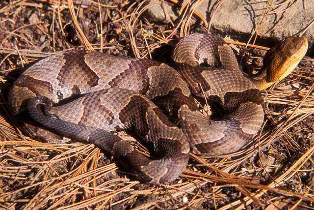northern copperhead pictures - HD 1600×1600