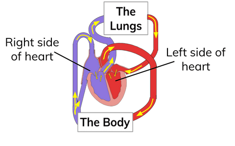 What is the Double Circulatory System? | Definition from ...