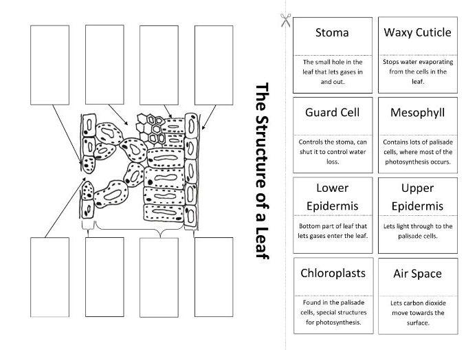 Leaf Anatomy Coloring Diagram - DIY Enthusiasts Wiring Diagrams •