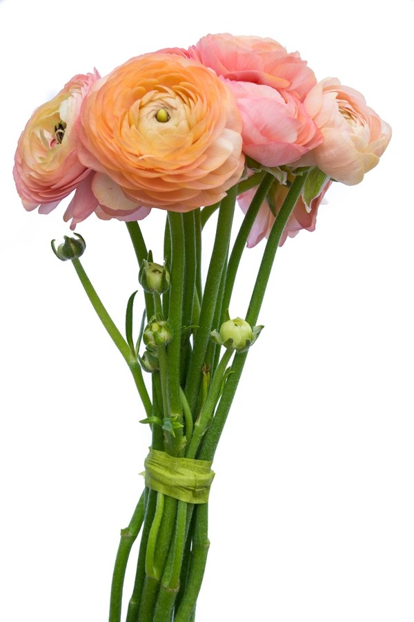 Coral Peach Ranunculus   Flower Explosion Coral Peach Ranunculus  Flowers
