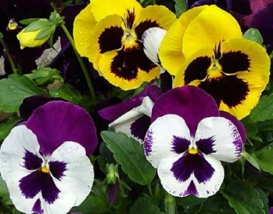 Atlas Mix  Pansy Seeds   Urban Farmer Seeds