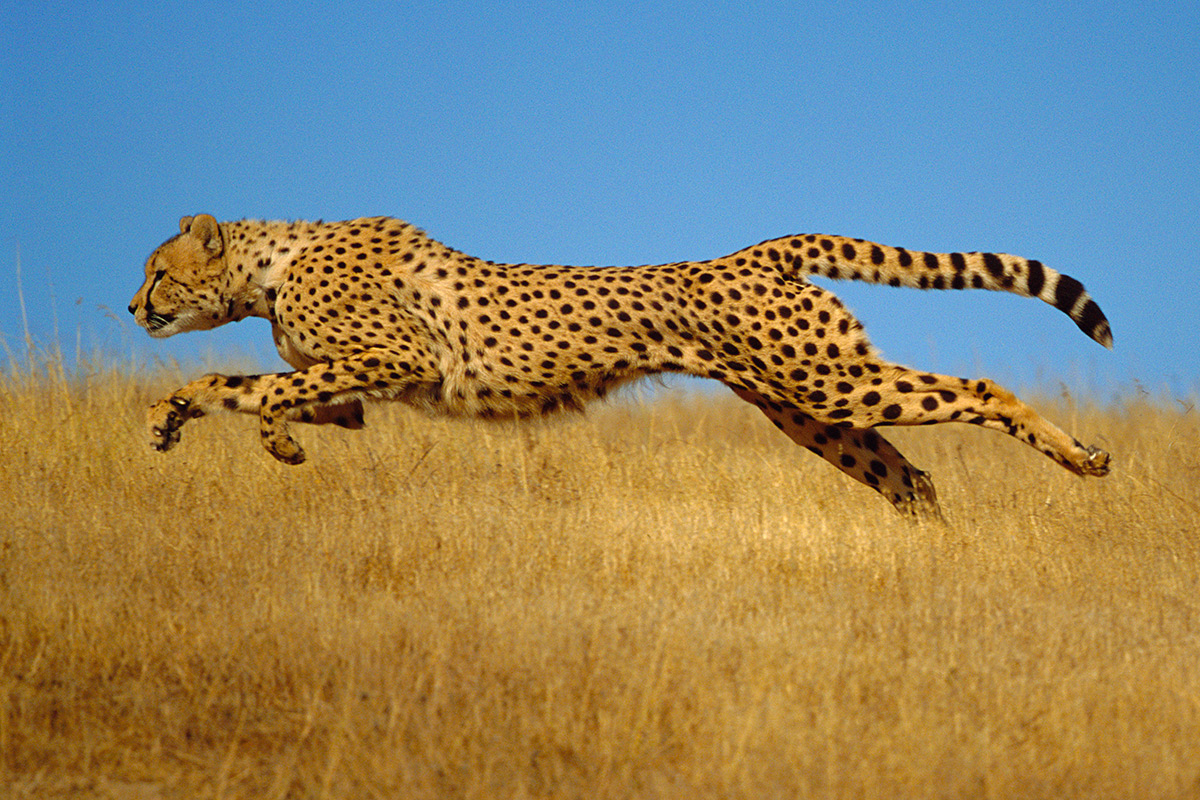 Why fast birds  fish and animals are never too small or big   New     cheetah running