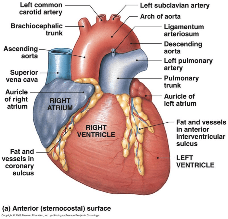 Blank Heart Diagram Anterior Interior View Of The Heart Wire Diagrams