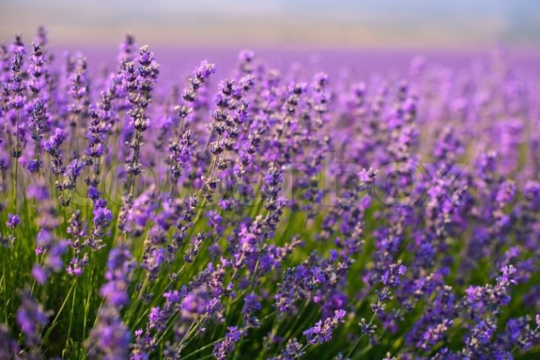 Purple lavender flowers in the field   Stock Photo   Colourbox