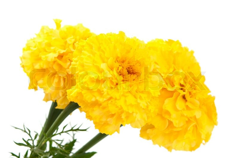 Yellow marigold flower isolated on white   Stock Photo   Colourbox