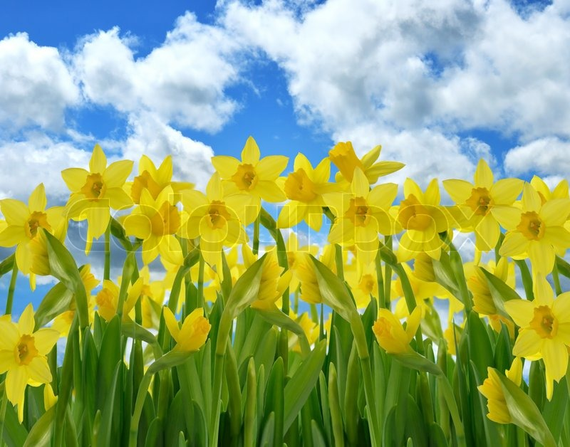 A Field Of Yellow Daffodil Flowers Against A Blue Sky   Stock Photo     A Field Of Yellow Daffodil Flowers Against A Blue Sky   Stock Photo    Colourbox
