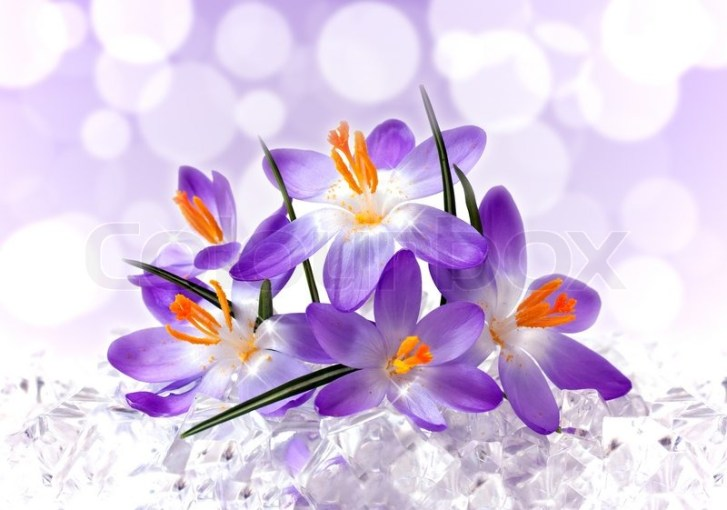 Violet flowers of a crocus in ice   Stock Photo   Colourbox