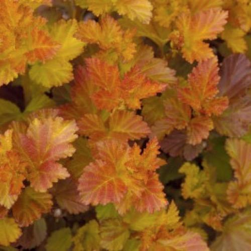 Ninebark Amber Jubilee Friends School Plant Sale
