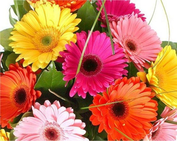Gerbera Plants   Selection of THREE Beautiful Hardy Gerberas with     Gerbera Plants   Selection of THREE Beautiful Hardy Gerberas with Giant  Daisy Flowers