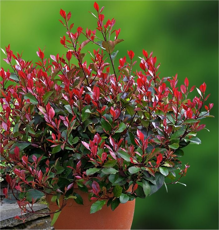 Photinia Little Red Robin Compact Evergreen Shrub