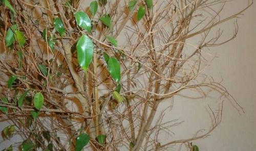 Waarom de Ficus geel en herfstbladeren is. De belangrijkste redenen voor het vergelen van bladeren 12