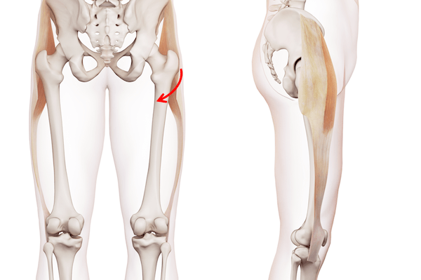 Muscles And Tendons Around The Hip