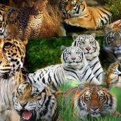 Lion Vs Tiger Aslan Vs Kaplan (5)