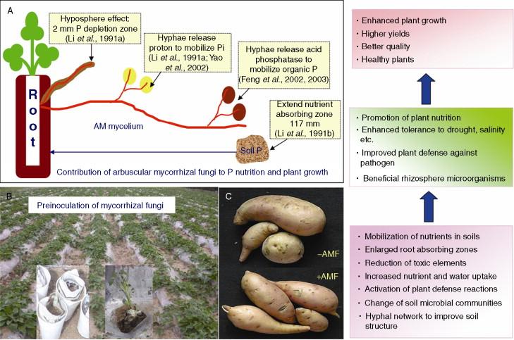 Arbuscular Mycorrhizal Fungi Life Cycle