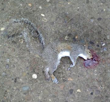 Dead Squirrel Dead Things We Find