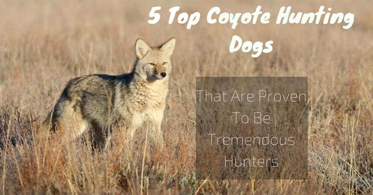 Huters Coyote Puppies What