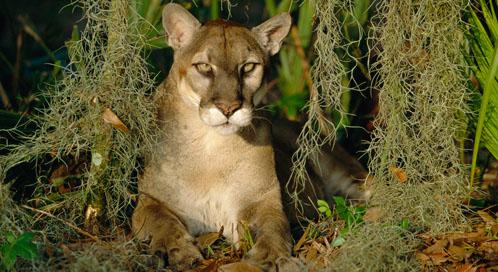 Reducing Panther Deaths On Roads Defenders Of Wildlife