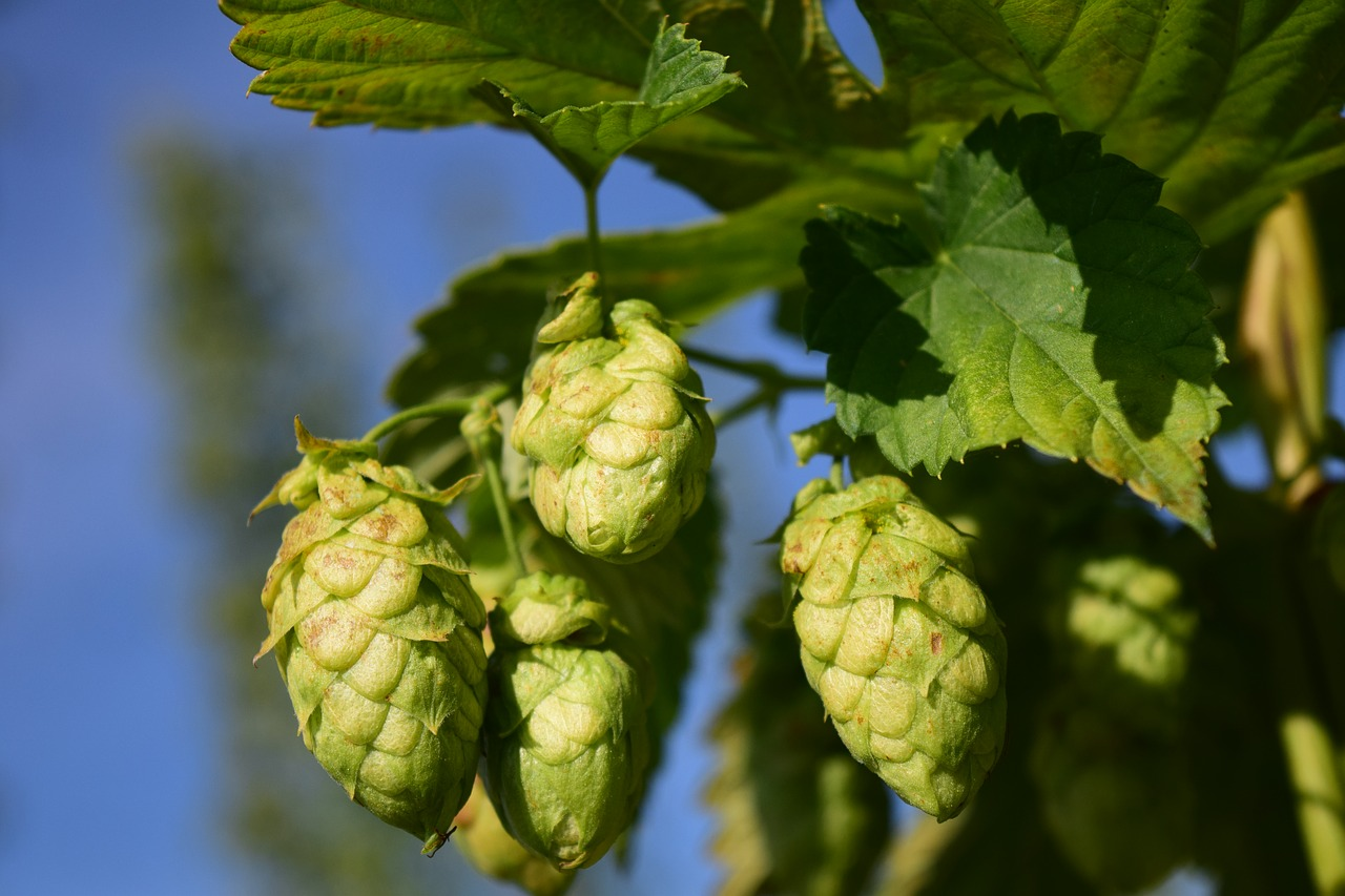 Hops U Introduction To Hops Production And Marketing