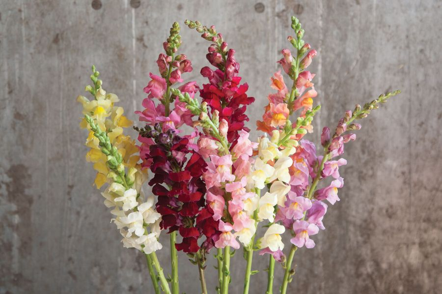 Rocket Mix    F1  Snapdragon Seed   Johnny s Selected Seeds Rocket Mix Snapdragon