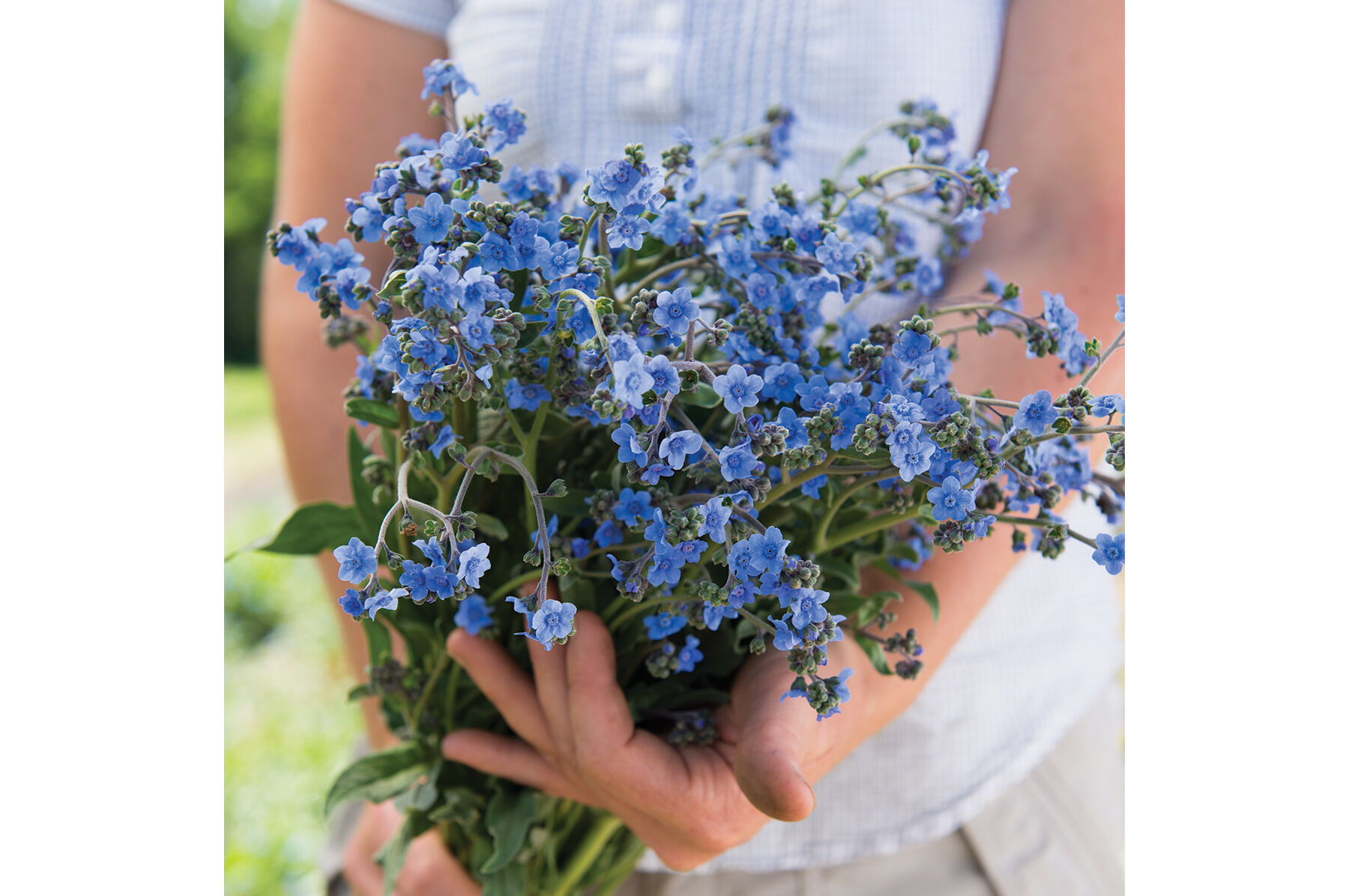 Chinese Forget Me Not   Cynoglossum Seed   Johnny s Selected Seeds Chinese Forget Me Not Cynoglossum