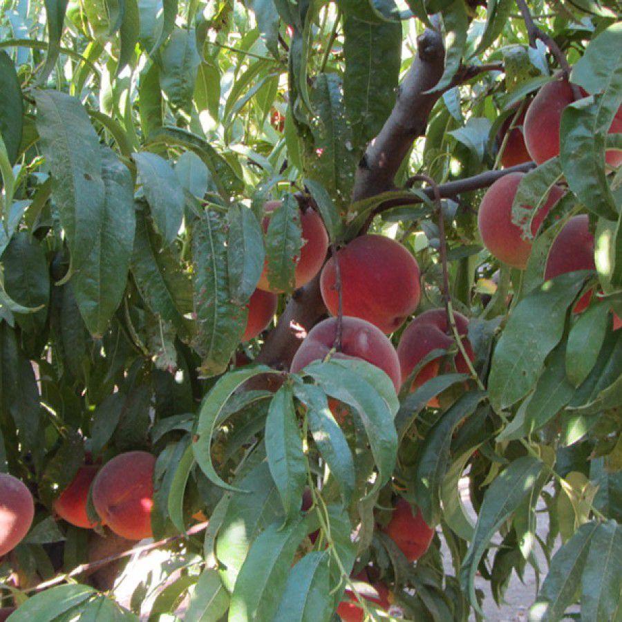 Yellow Fleshed Tree Fruit