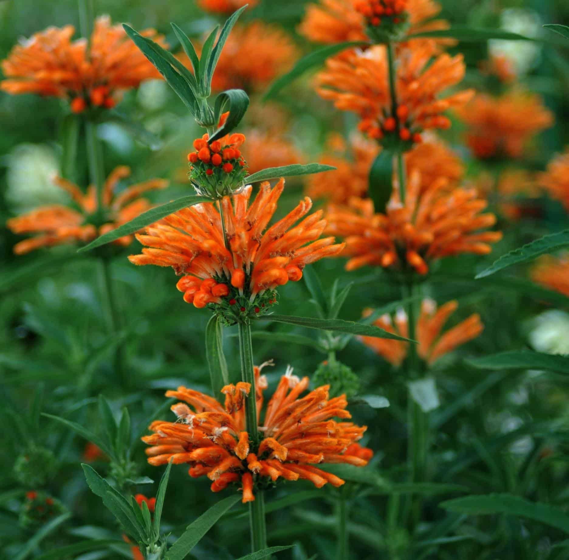 Evergreen Flowering Shrubs