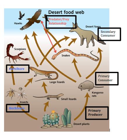 Food Chain and Food Web - Desert
