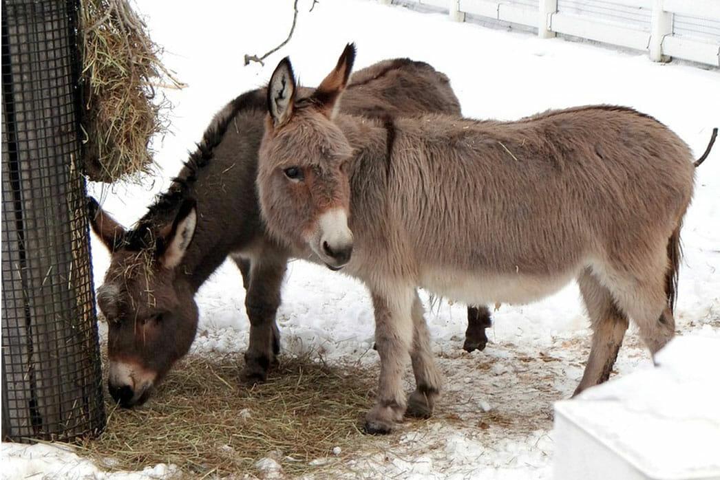 Donkey Detroit Zoo