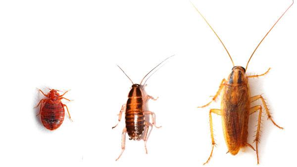 จากซ้ายไปขวา: Bedpop, Nymph Red Cockroacan, Redhead Redhead สำหรับผู้ใหญ่
