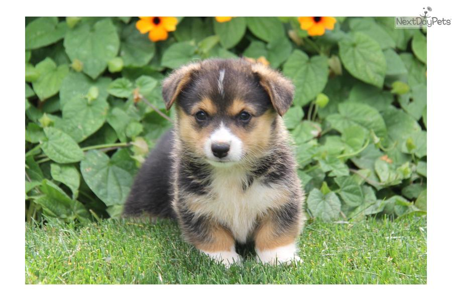 Adoption Corgi Purebred Welsh Dogs