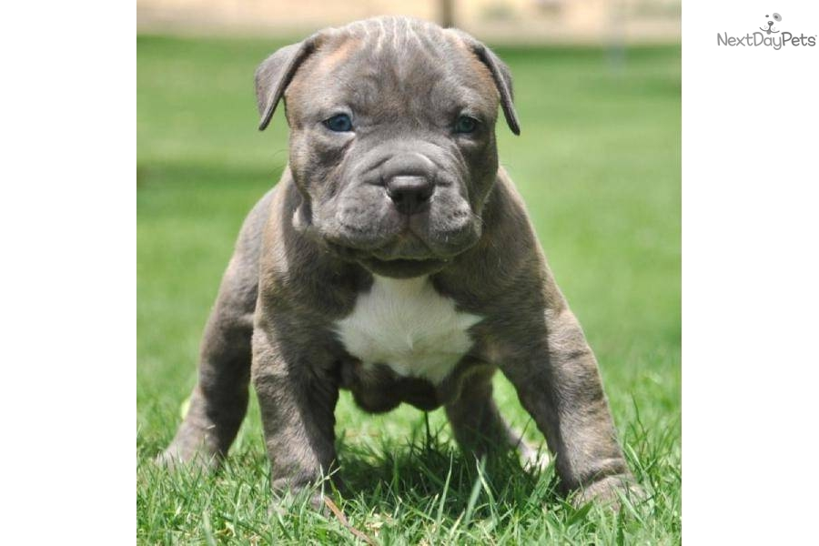 Bullies Puppies Pitbull Extreme
