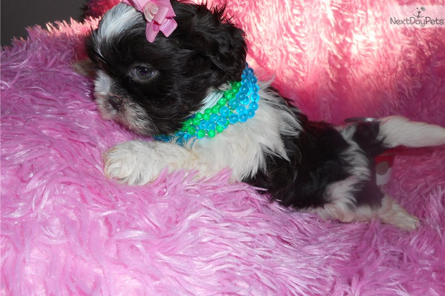Chocolate Shih Tzu Puppies Texas