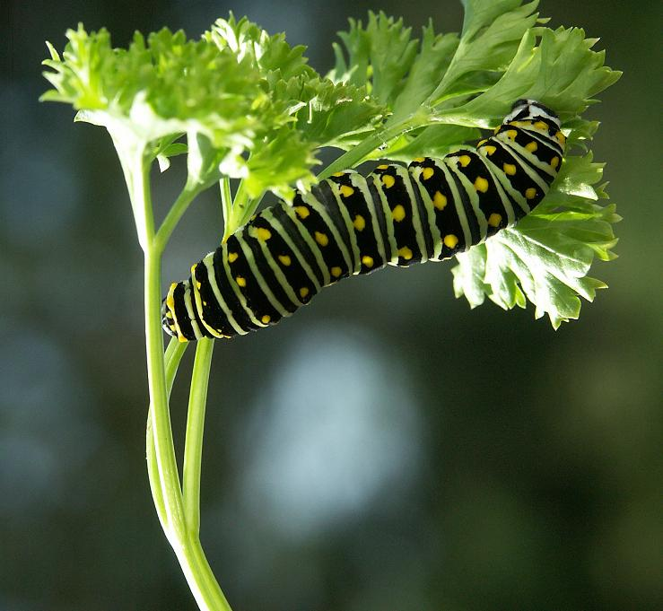 Monarchs and Red Admirals and Swallowtails, Oh My ...