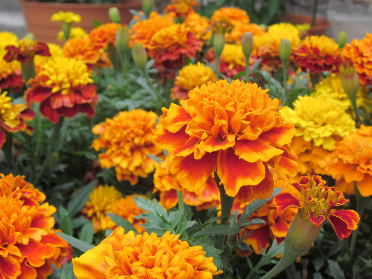 7 Ways To Use Marigold Flowers   DIY Network Blog  Made   Remade   DIY French Marigold Flowers