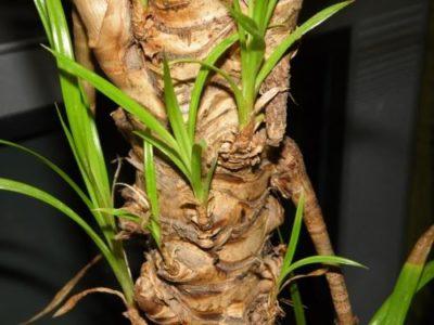 Il tronco di Pandanus, che ha causato da prese per bambini