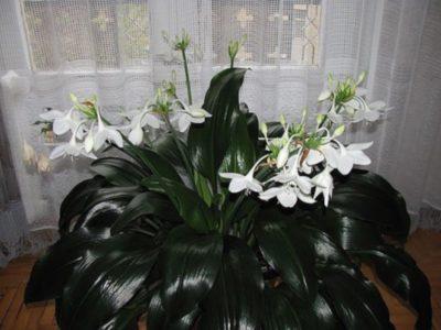Berbunga kuat Euharicis.