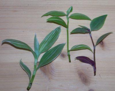 Plant nederlag av Paouth Tick