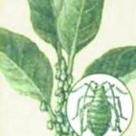 Gulende blad tradescania.